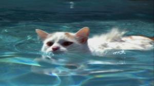 Turkish Van cat swimming